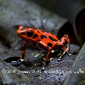 Oophaga (Egg-Feeders)