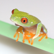 Red Eye Tree Frog Juveniles - Captive Bred