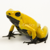 Phyllobates terribilis - 'Yellow - Black Foot'