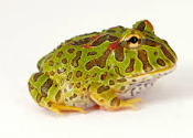 Pacman Frog (Ceratophrys cranwelli)